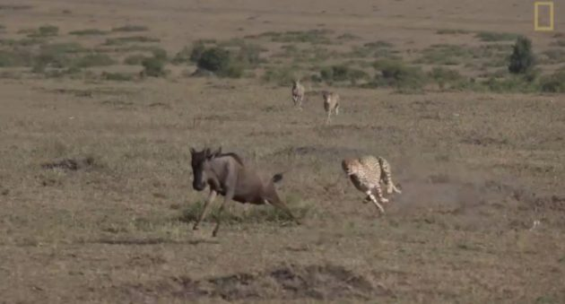 cheetah versus wildebeest