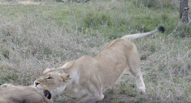 When Your Wife Tells You To Stop Being A Lazy Lion And Get To Work