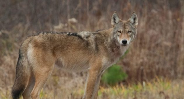 coywolf attacks