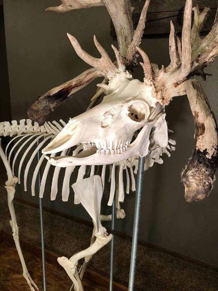 Fully Assembled Deer Skeleton Is Eye Candy For The