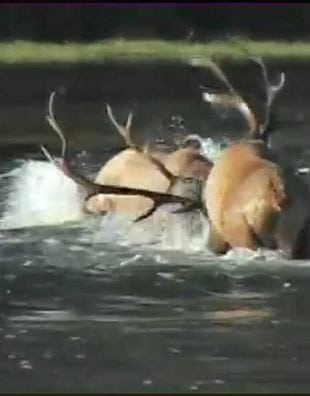 elk fight