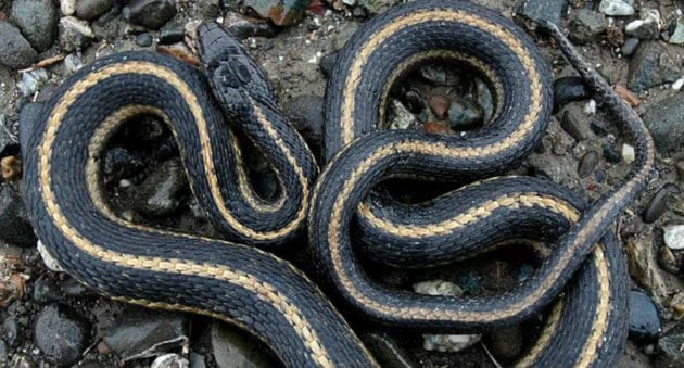 A Quick Guide to All 18 Species of Michigan Snakes