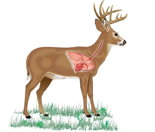 The Great Deer Anatomy Explainer, and What You Need to Know
