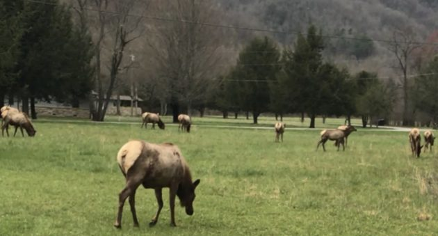 North Carolina elk herd