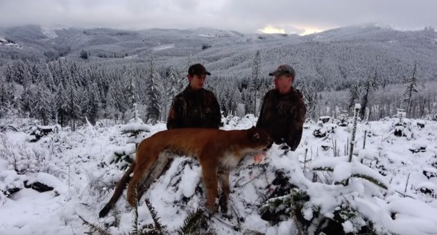 Watch How This Cougar Hunt In The Snow Ends!