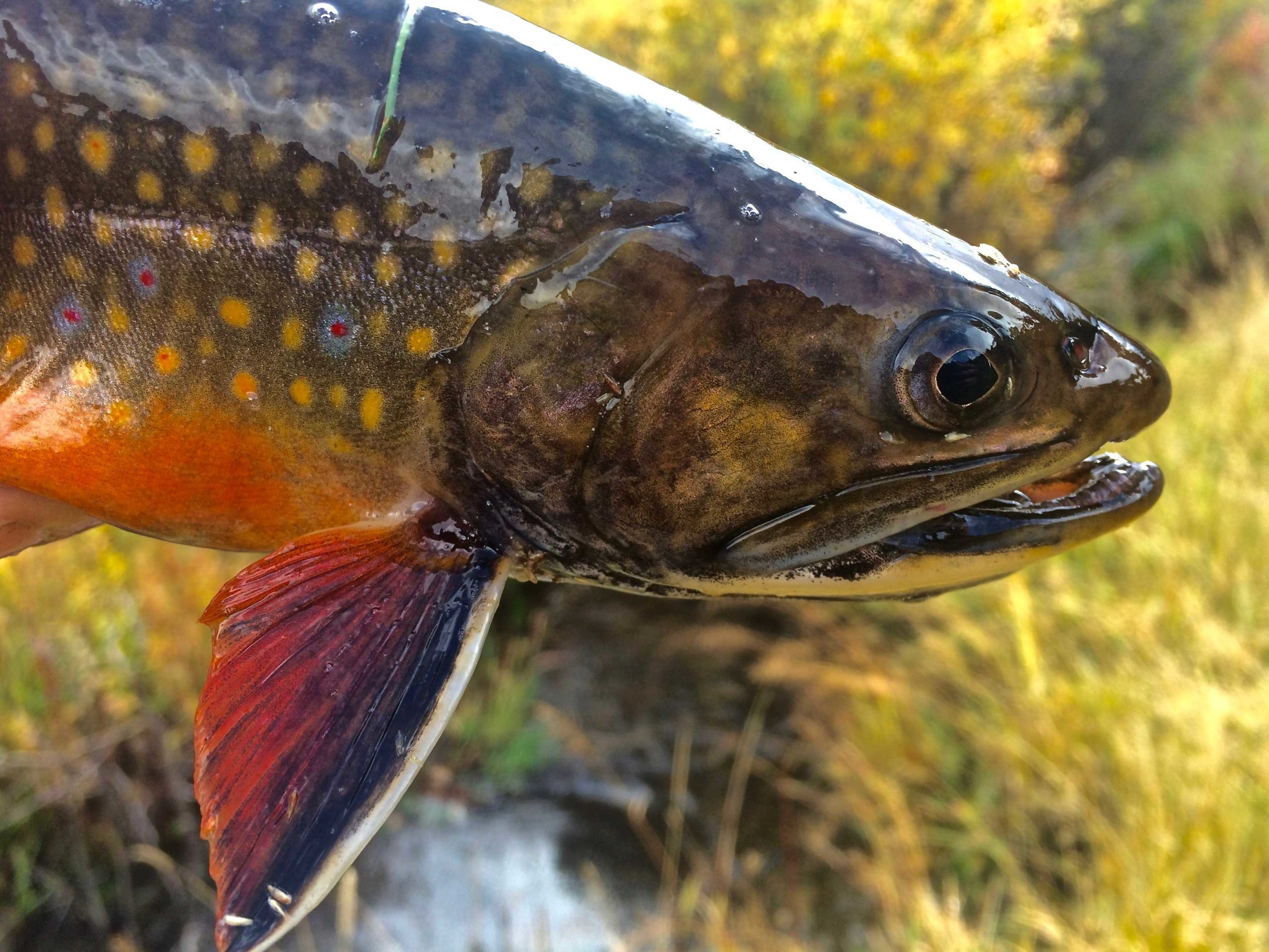 Trout Species In The United States