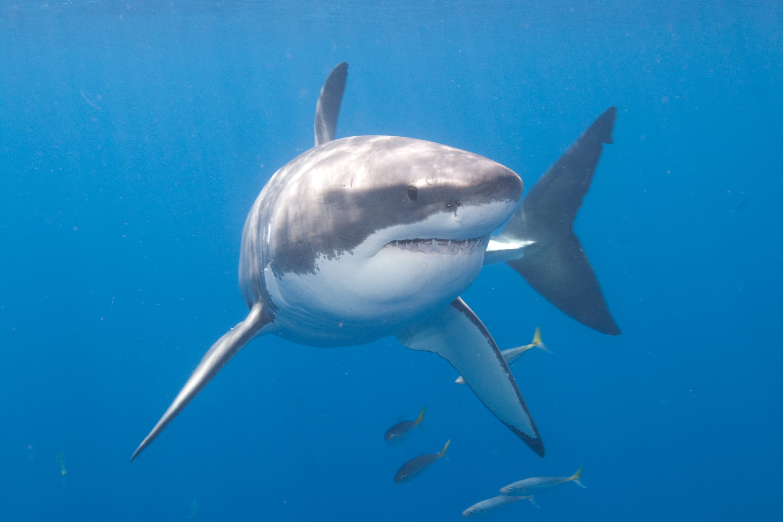 Pictures of Great White Sharks