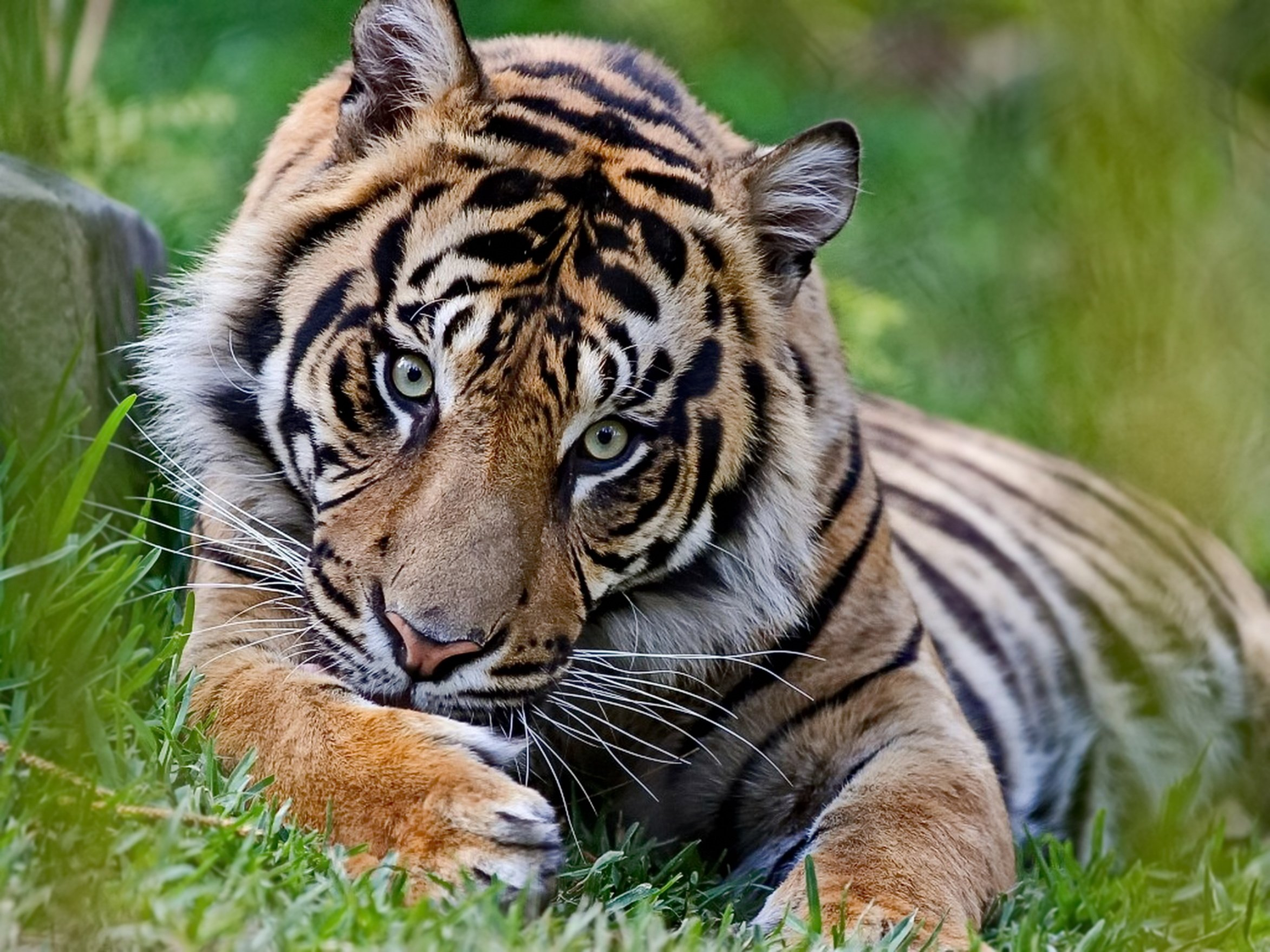 How Much Tigers Weigh And Other Interesting Striped Cat Facts